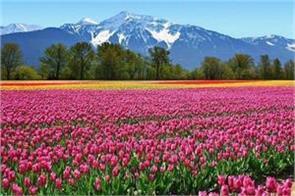 tulip festival in kashmir