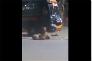 lion set out on gujarat roads