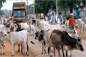 rti revealed the campaign to free the avara cattle fails twice