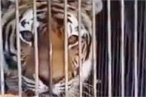 cat attack attempt on tiger inside cage