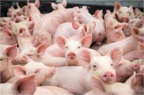 more than 1950 pigs died of mysterious virus in assam