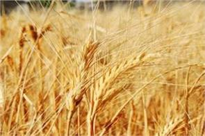record yields of wheat but government sluggish in purchases
