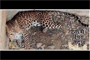 leopard fell in empty tank