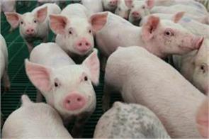 african swine flu continues to wreak havoc in assam over 13000 pigs die
