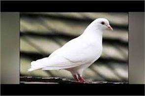 spy pigeon caught in ib rspura