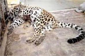 bullet ridden body of leopard found in bhaderwah