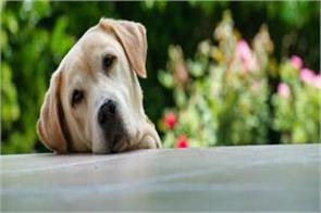 dog swallows diamonds worth lakh