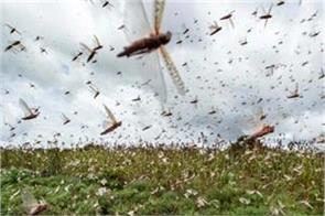 locusts reached delhi in corona havoc