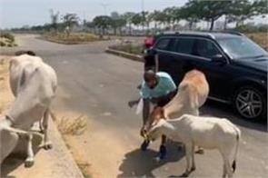cricketer shikhar dhawan seen feeding food hungry cows video went viral