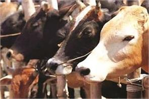 relevance of  cow slaughter  prevention ordinance 2020