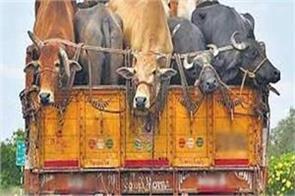 bovine smuggling bid foiled in samba accused arrest