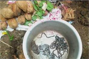 100 cobra children seen near house in sawan people worshiping
