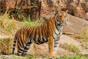 report on tiger census released 70 percent of the world tigers in india