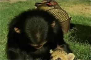 chimpanzee feeds lion s baby milk video viral