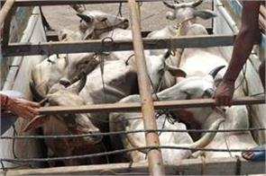 12 animals recovered from bovine smugglers in samba