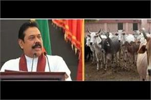 sri lanka cabinet approves proposal to ban cattle slaughter