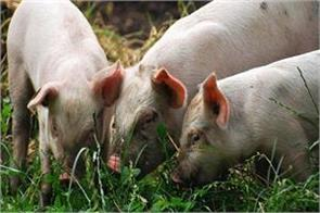 african swine fever spreading in assam sonowal orders to kill 12 000 pigs