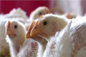 scientists change dna to protect chickens from virus