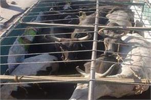 bovine smuggling bid foiled in samba