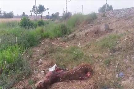 गोरखपुर: रेलवे ट्रैक पर मिला हिरण का शव, पोस्टमार्टम कराने के बजाय...