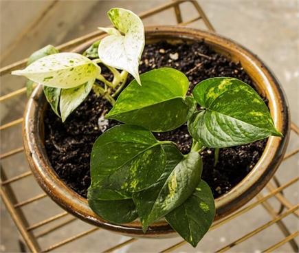 जहरीली हवा से बचाएंगे ये पौधे, नेचुरल एअर प्यूरीफायर का करते हैं काम