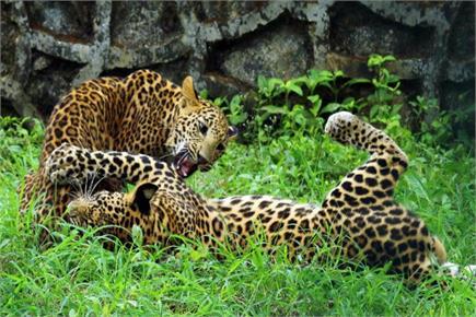 मुंबई के राष्ट्रीय उद्यान में कर्मचारियों के साथ मस्ती करते तेंदुए के...