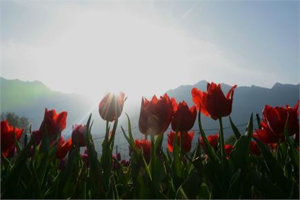श्रीनगर: एशिया के सबसे बड़े इंदिरा गांधी मैमोरियल ट्यूलिप गार्डन में...