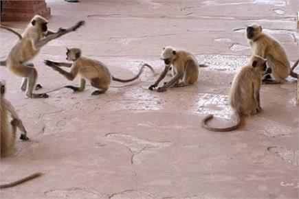 खेल-खेल में आतंकवादी बने बंदर, एक-एक करके बरसाए बम, 3 घायल