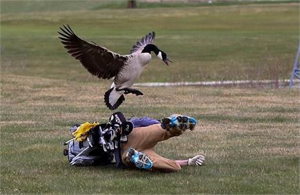 बल्सिफील्ड चैंपियनशिप : जब गोल्फर को चखाया कलहंस ने मजा