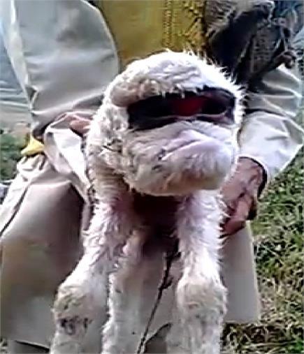 भेड़ ने दिया अजीबो-गरीब बच्चे को जन्म, देखने को उमड़ी भीड़(Pics)