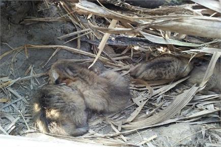 बहराइच: गन्ने के खेत में मिले फिशिंग कैट के 5 शावक