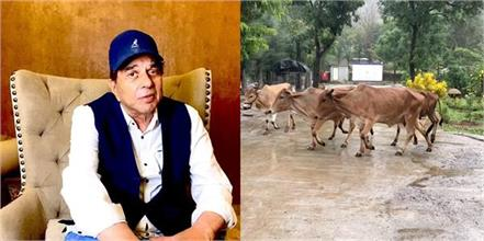 dharmendra video from his farm house