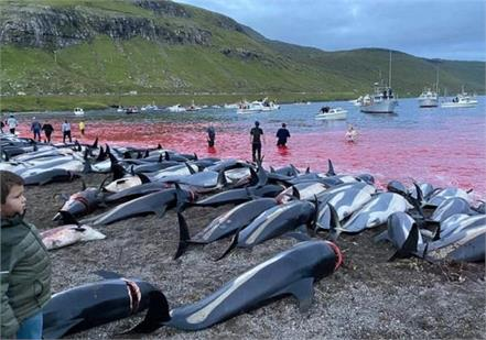 to fulfill tradition 1 428 dolphins slaughtered on island