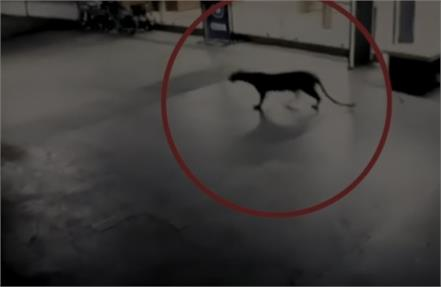 leopard spotted at thane mall