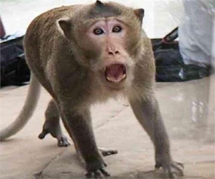 attack of monkeys in agra after innocence now woman killed