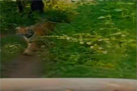 tigers run behind tourist vehicle in tadoba national park