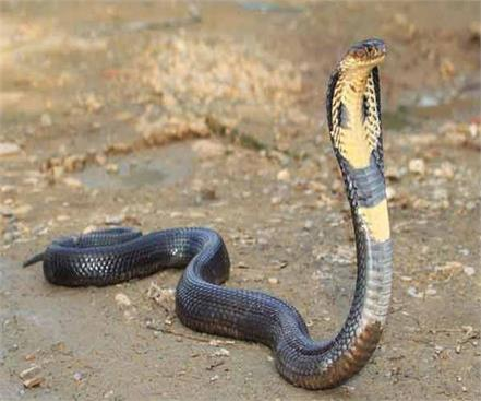 snake has smelled 11 times in 3 years family in panic