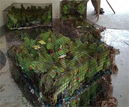 big action illegal bird trade 605 banned parrots recovered from 2 smugglers