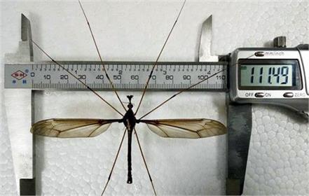 giant mosquito chinese entomologists zhao li mount qingcheng