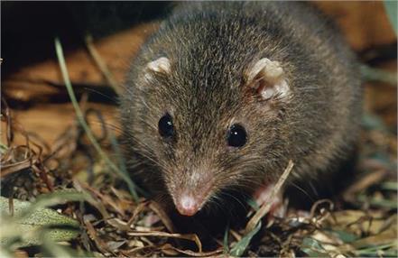 australia  suicidal sex in  marsupial mice