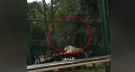 visitors throw stones at tiger at china zoo video viral