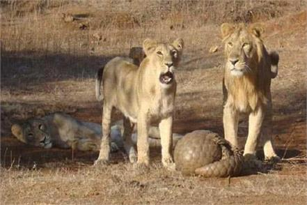 mysterious death of 11 lions in the forest