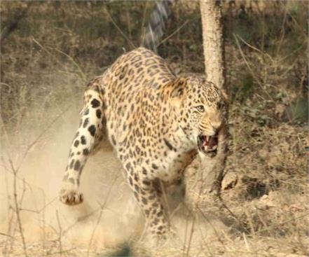 up terror leopard continues in moradabad now 3 year old maoist attack