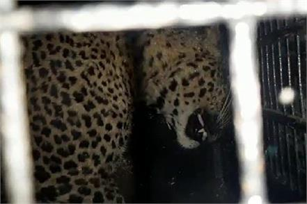 leopard spotted in populated area forest department rescues