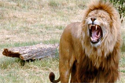 lahore the lion attacked the electrician
