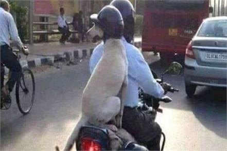 the dog came out on a bike wearing a helmet