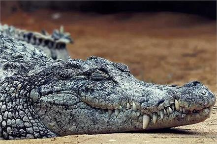 crocodile entered the house in the dark of night