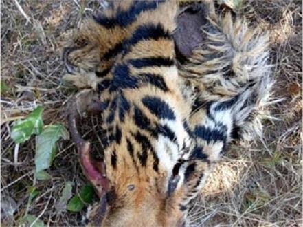 tigers killed tigers in kanha national park clashes over areas