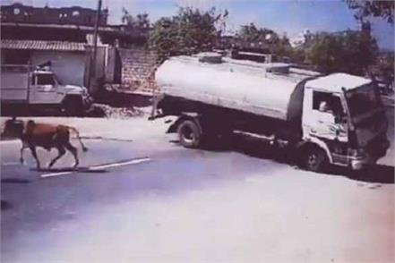 truck driver saved cow in gujarat