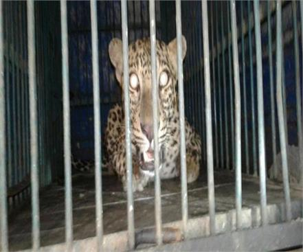forest department team caught in leopard in greater noida